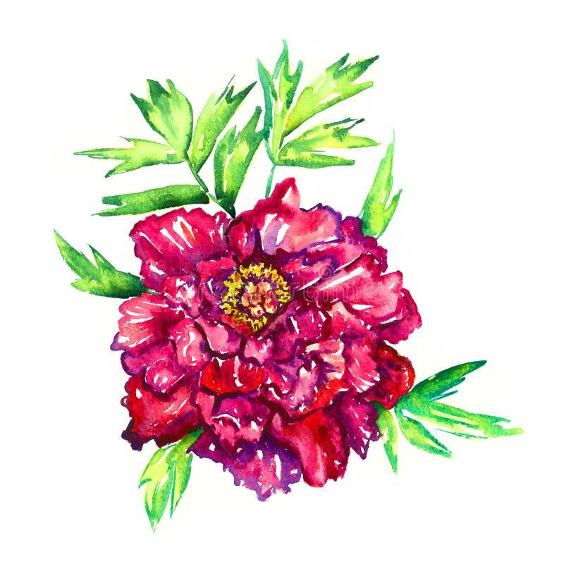 与绿色叶子的明亮的红紫色rpeony花,被隔绝的手画水彩例证设计元素 向量例证