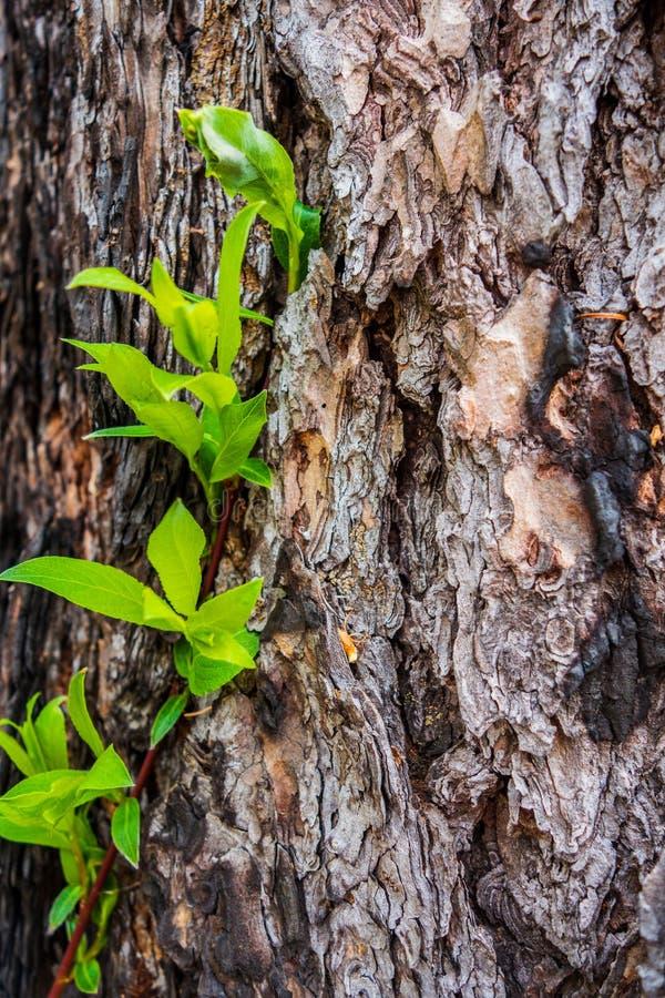 与绿色叶子的树皮 库存图片