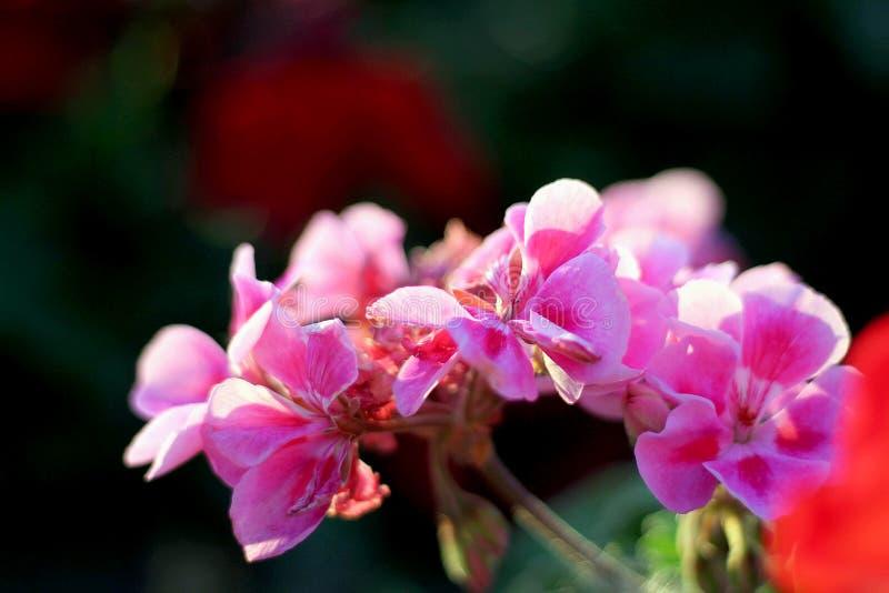 与绿色叶子的桃红色大竺葵在黑暗的背景 库存照片
