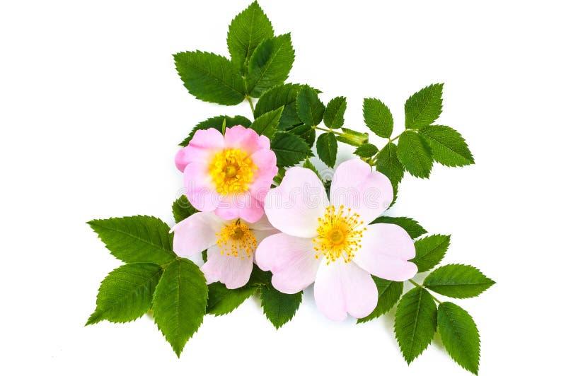 与绿色叶子的桃红色狂放的玫瑰色或狗玫瑰色花 在白色 免版税库存图片