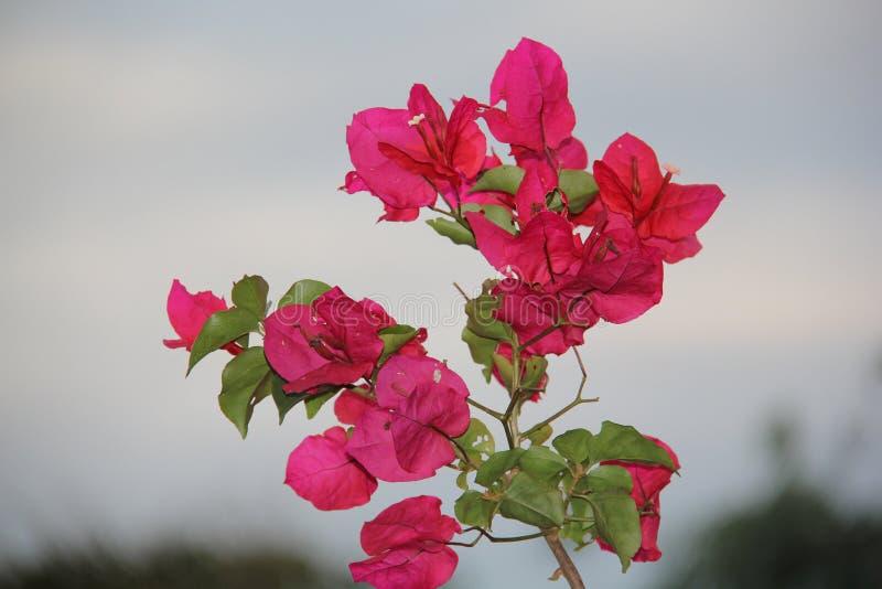 与绿色叶子的桃红色花 免版税图库摄影