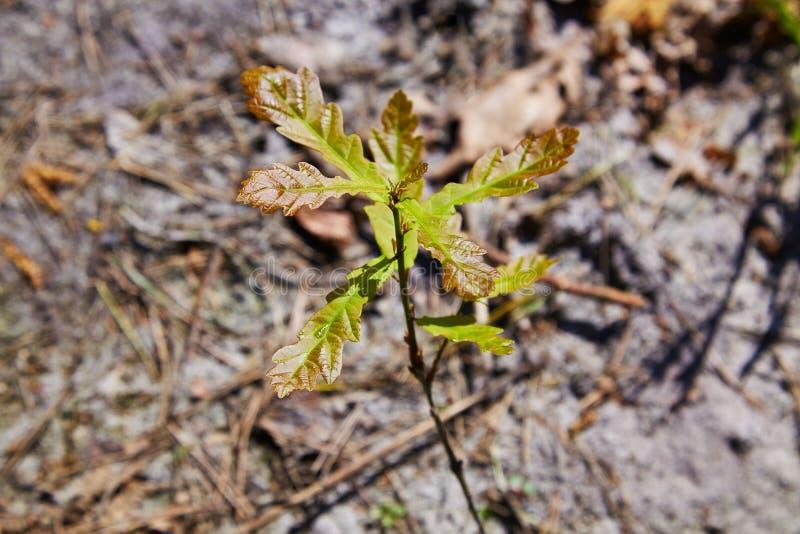 与绿色叶子的橡树新芽在锥体阳光中的土壤背景 库存照片