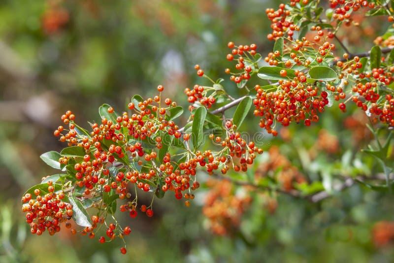 与绿色叶子的火棘灌木和橙色莓果在秋天庭院里 免版税图库摄影