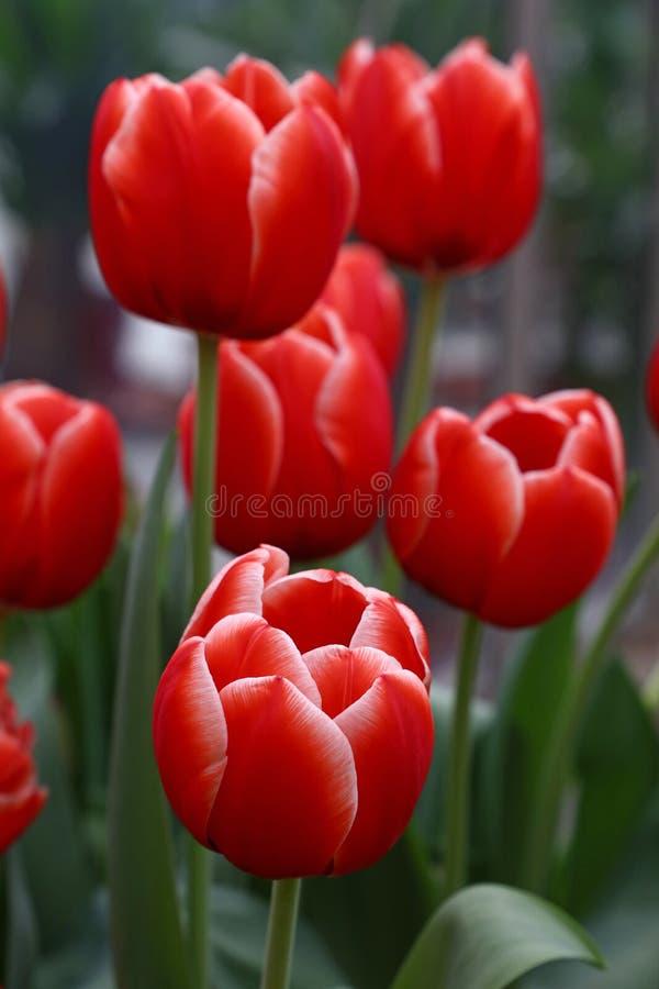 与绿色叶子的红色新鲜的郁金香花 免版税库存照片