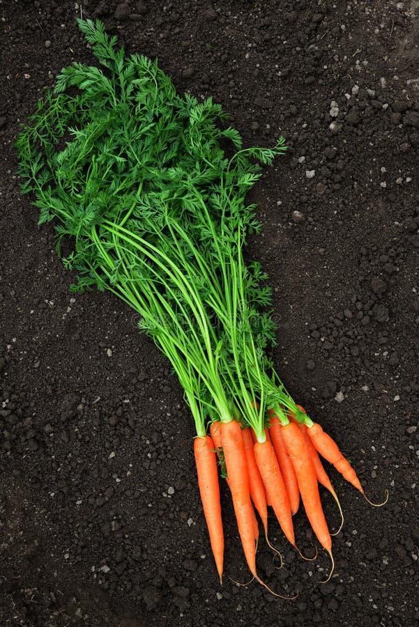 与绿色叶子的红萝卜在土壤 图库摄影