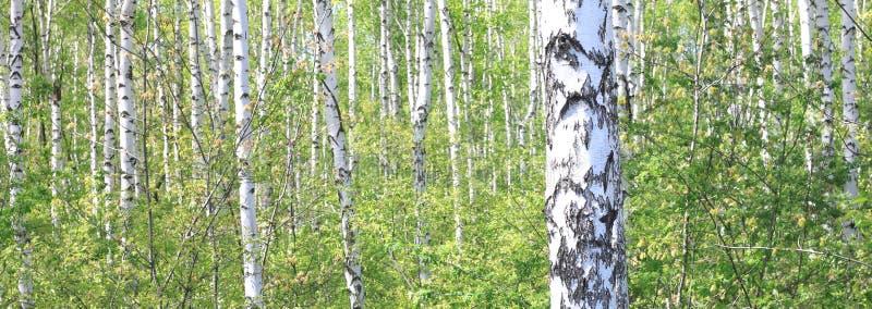 与绿色叶子的美丽的年轻桦树 库存照片