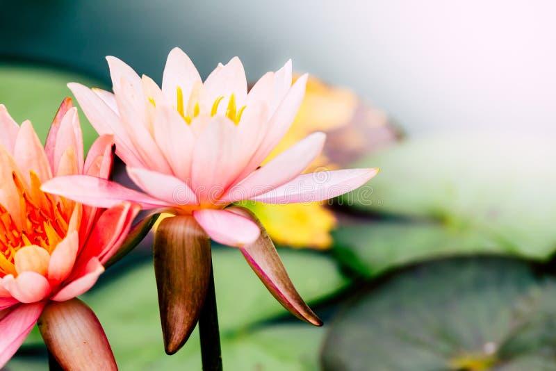 与绿色叶子的美丽的桃红色莲花在池塘 免版税库存图片