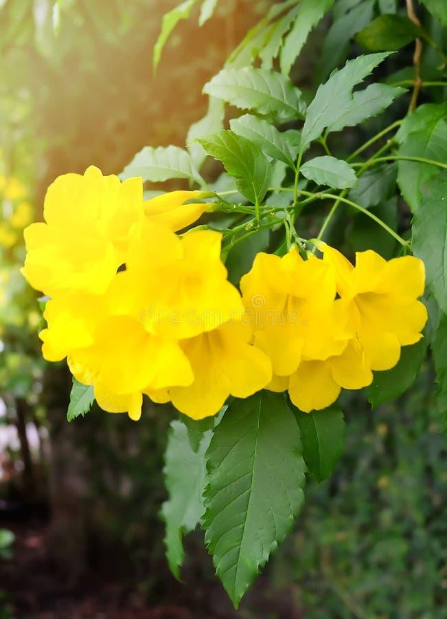 与绿色叶子的美丽的黄色Trumpetbush花 免版税库存图片