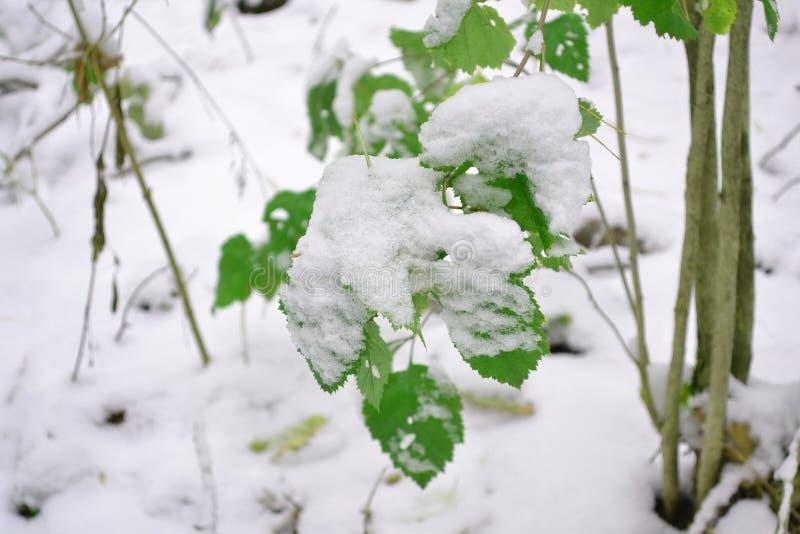 与绿色叶子的美好的分支在晚秋天或早期的冬天在雪下 第一雪,雪剥落落,特写镜头 库存照片