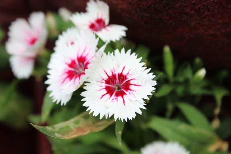 与绿色叶子的美妙的桃红色和白花 图库摄影