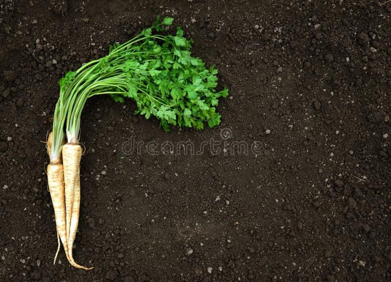 与绿色叶子的荷兰芹在土壤 库存照片