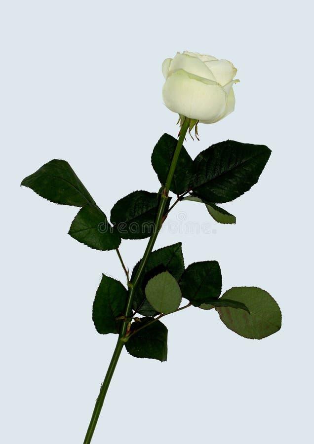 与绿色叶子的被隔绝的白色玫瑰 免版税库存照片