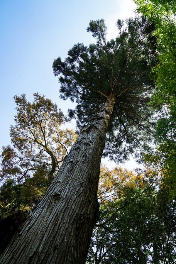 与绿色叶子织地不很细吠声树干、分支和树荫的美丽的老高杉树在清楚的蓝天背景, Kurokawa的 图库摄影