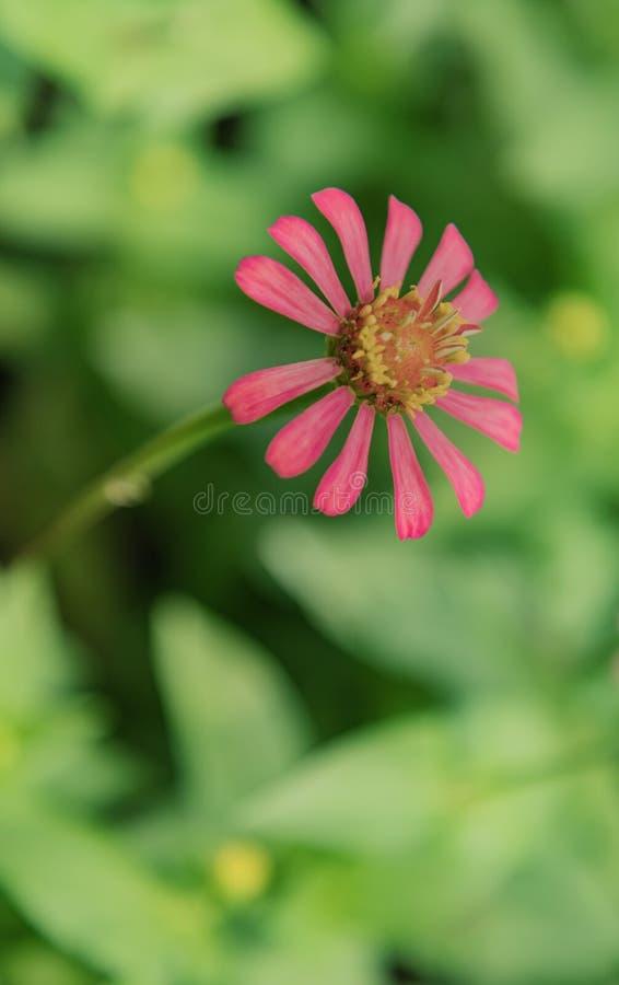 与绿色叶子背景的百日菊属小人国充满活力的桃红色花 免版税库存照片