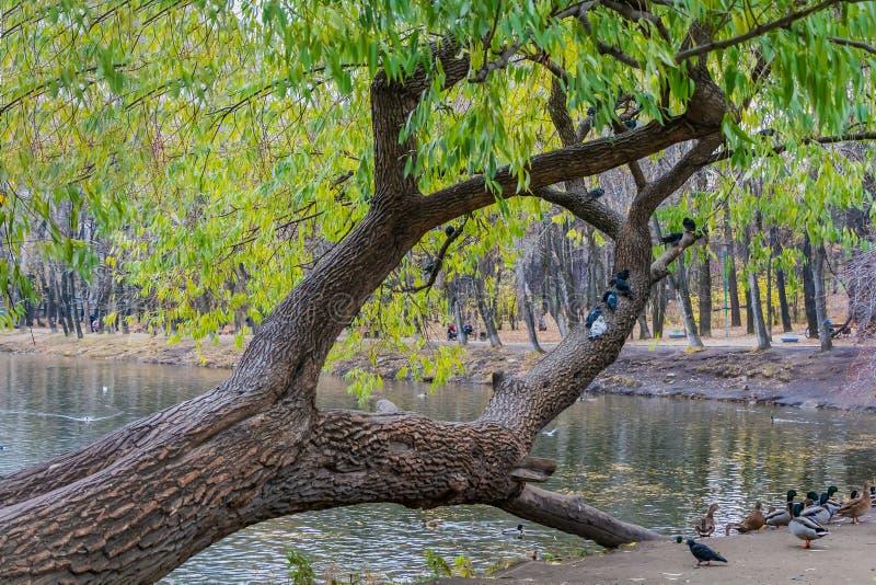 与绿色和黄色叶子的一棵美丽的老意想不到的多枝柳树和一个小组由一个池塘的鸽子鸟有鸭子的 免版税库存图片