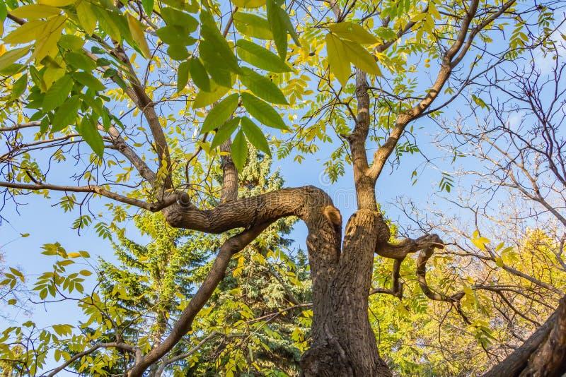 与绿色和黄色的一个美丽的老意想不到的多枝树在一个公园在秋天离开 免版税图库摄影