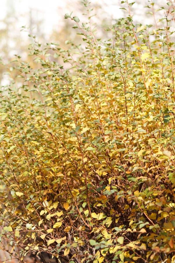 与绿色和黄色sheeets的秋天灌木 免版税库存图片