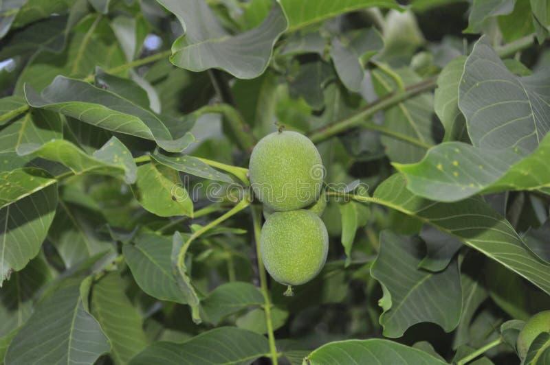 与绿色坚果的核桃树 库存照片