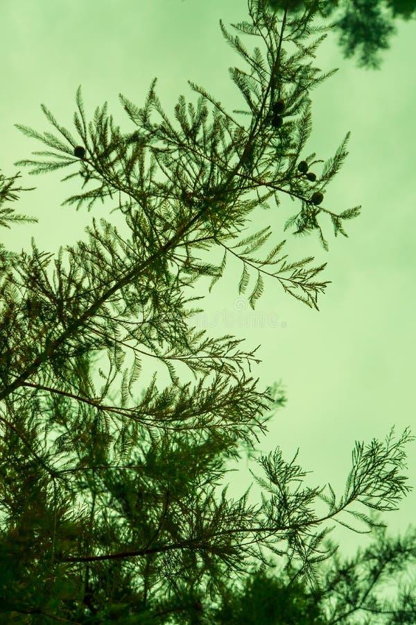 与绿色天空的室外现出轮廓的杉木针纹理词根分支在背景中 免版税库存图片