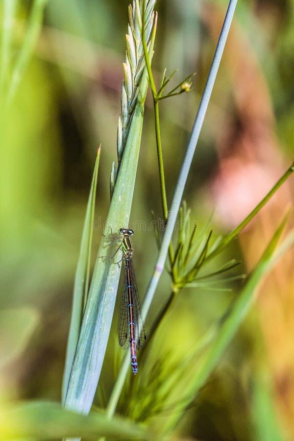 与绿色天蓝色蜻蜓箭头南部的Coenagrion mercuriale的美好的特写镜头自然 免版税库存图片