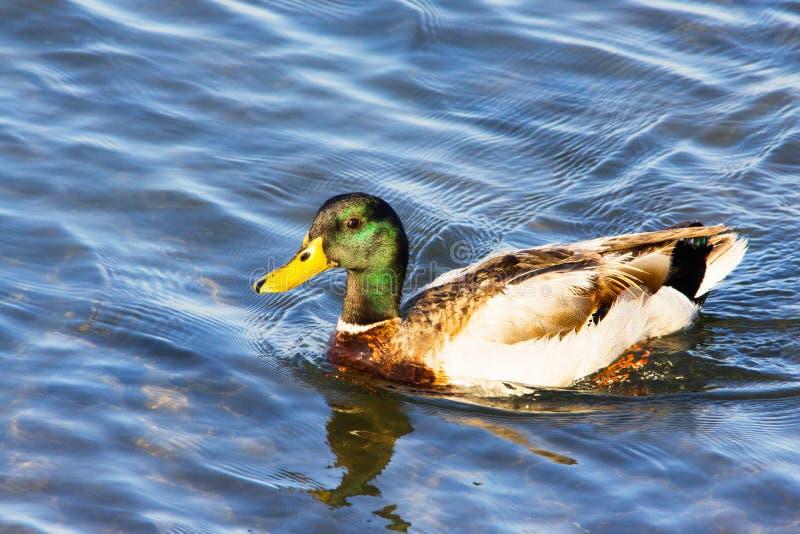 与绿色头的大成人栗子褐色野鸭鸭子 免版税图库摄影