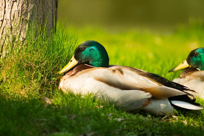 与绿色头的鸭子坐鲜绿色的草 鸟的野生生物 ?? 库存图片