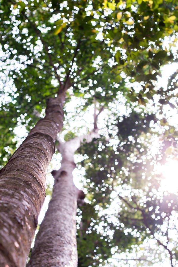 与绿色春天的强大老树离开,选择聚焦 免版税图库摄影