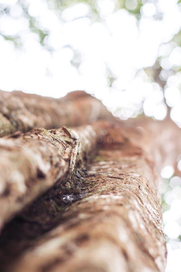 与绿色春天的强大老树离开,选择聚焦 免版税库存照片