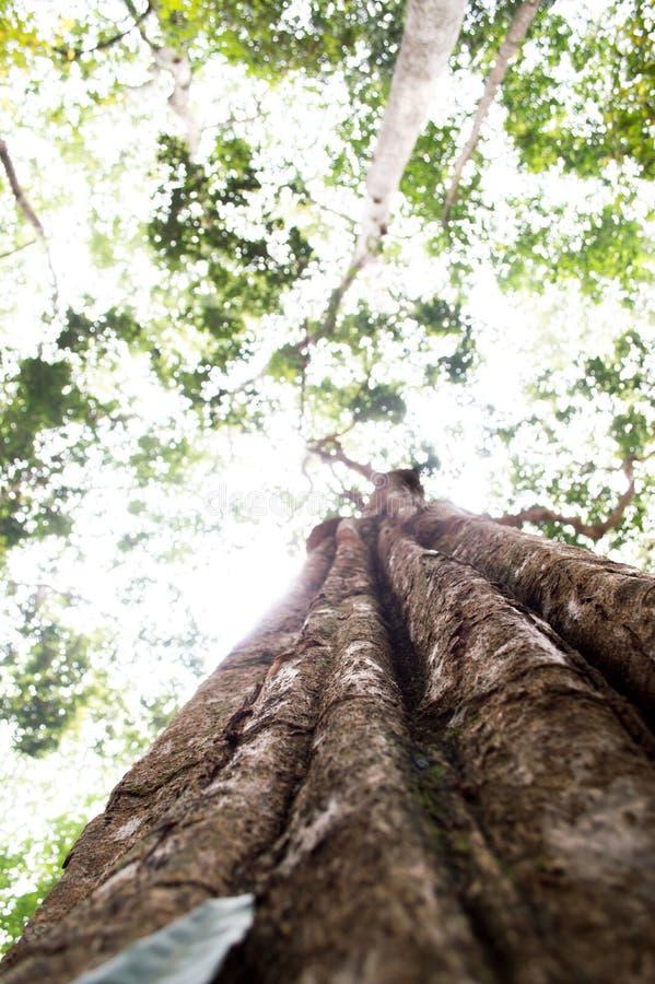 与绿色春天的强大老树离开,选择聚焦 库存照片