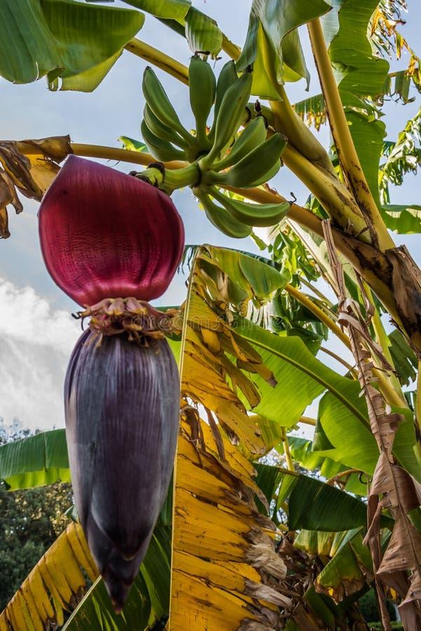与绿色束的香蕉树香蕉和花芭蕉科 免版税库存照片