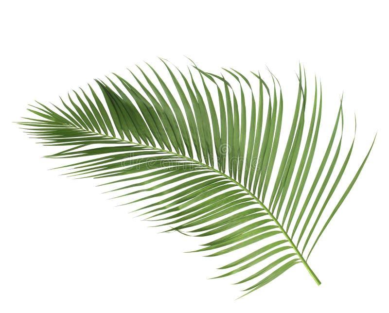 与绿色棕榈叶的概念夏天从热带 叶状体花卉叶子分支在白色样式背景图片