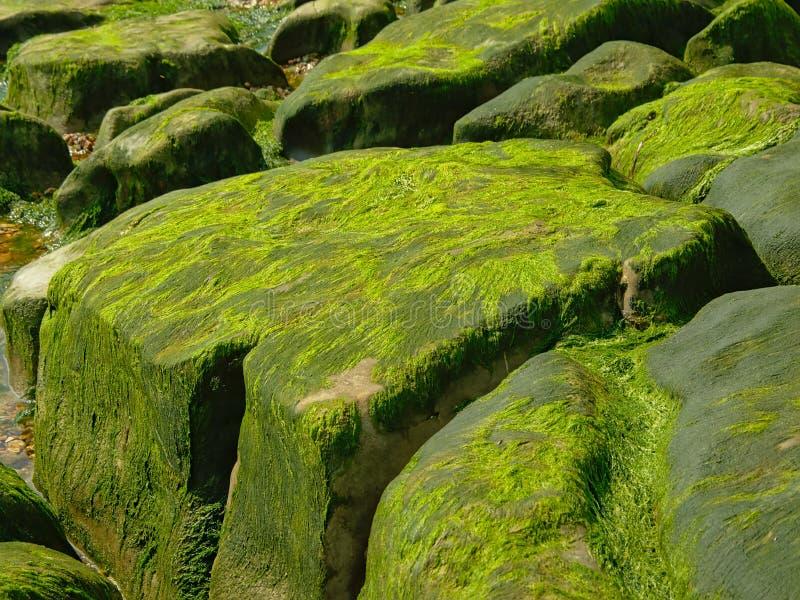 与绿色海草的大岩石在海滩 免版税库存照片