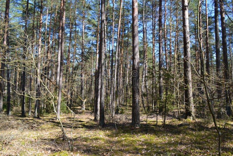 与绿色混杂的森林的美好的风景在春天 白俄罗斯的狂放的本质 免版税图库摄影