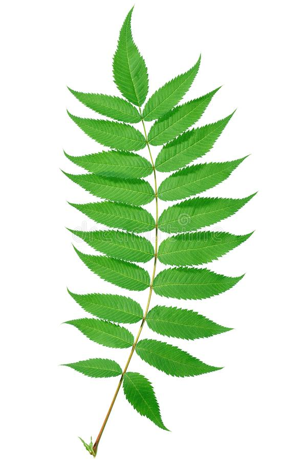 与绿色的小树枝在白色背景离开 图库摄影