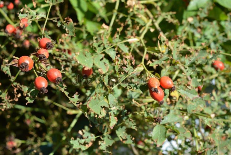 与绿色的红色山楂树莓果烘干了叶子 库存图片