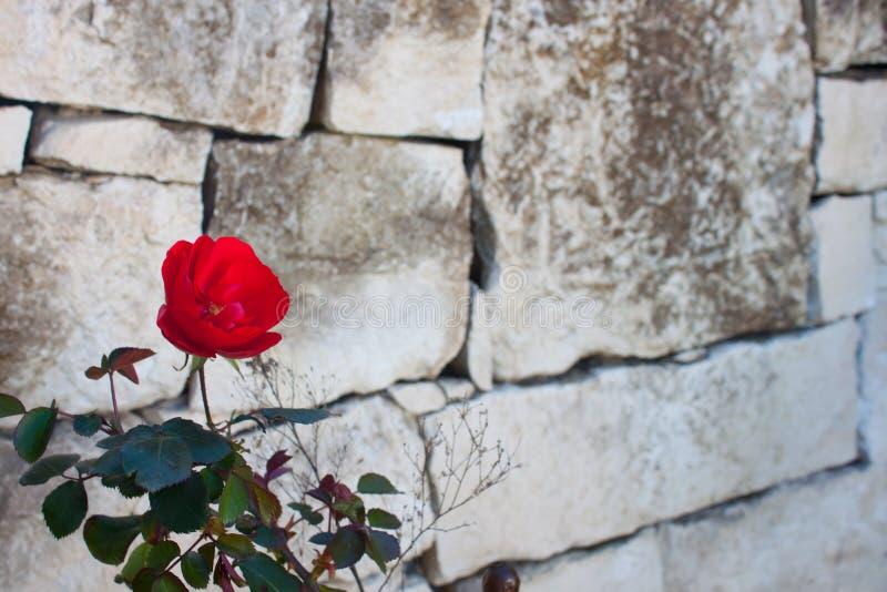 与绿色的红色玫瑰离开与石头背景  库存照片