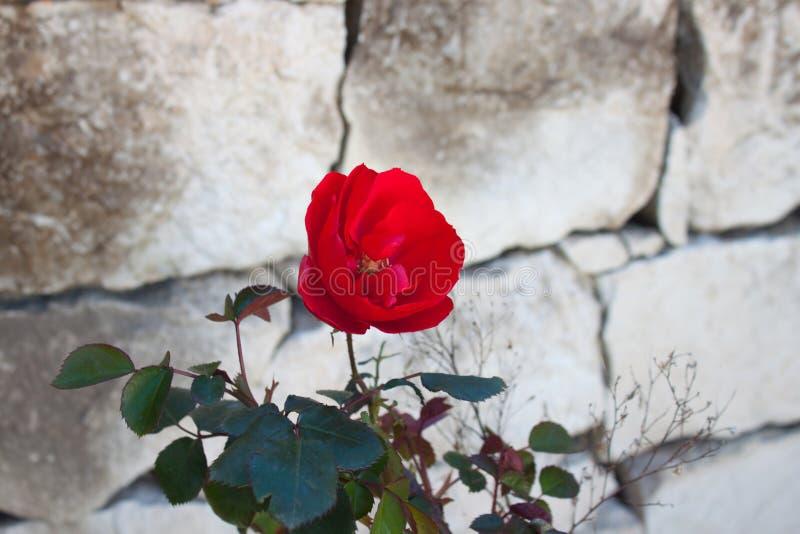 与绿色的红色玫瑰离开与石头背景  免版税库存图片
