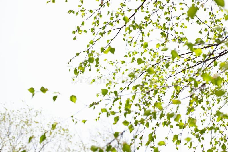 与绿色的美好的桦树分支在天空离开 免版税库存照片