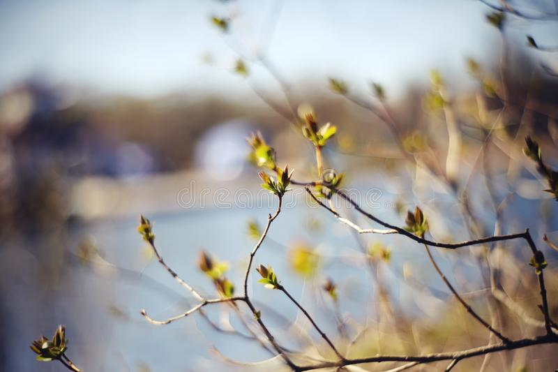 与绿色的背景在淡紫色灌木分支逃脱 库存图片