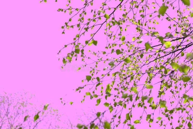 与绿色的超现实主义美好的桦树分支在天空桃红色离开 免版税库存照片