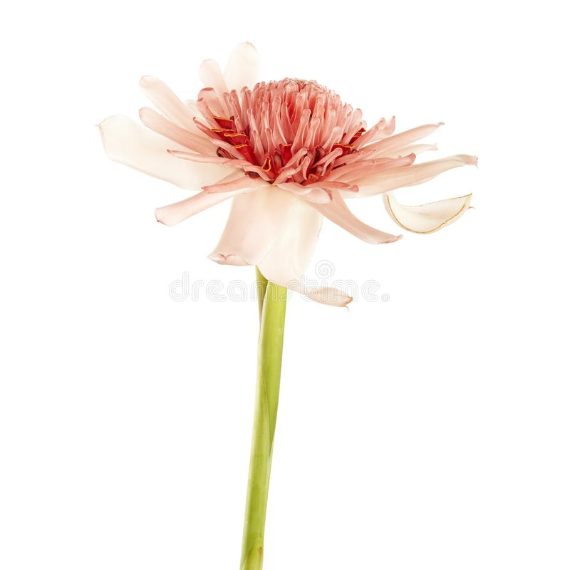 与绿色茎,在白色背景隔绝的桃红色火炬姜花的Etlingera elatior,与裁减路线 免版税库存照片