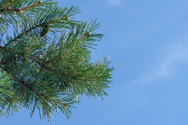 与绿色锥体的一个杉木分支反对天空蔚蓝在公园 免版税库存照片