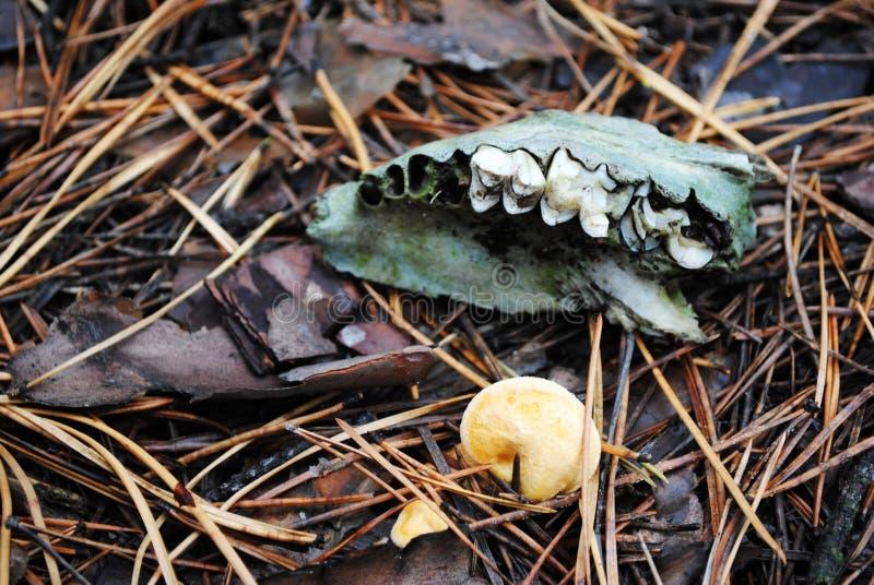 与绿色青苔下颌的头骨细节与牙和黄色蘑菇在腐烂的松树针 库存图片