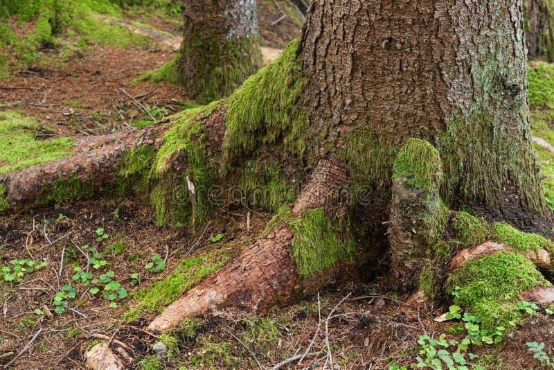 与绿色青苔的树干 图库摄影