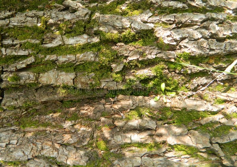 与绿色青苔的树皮 库存照片