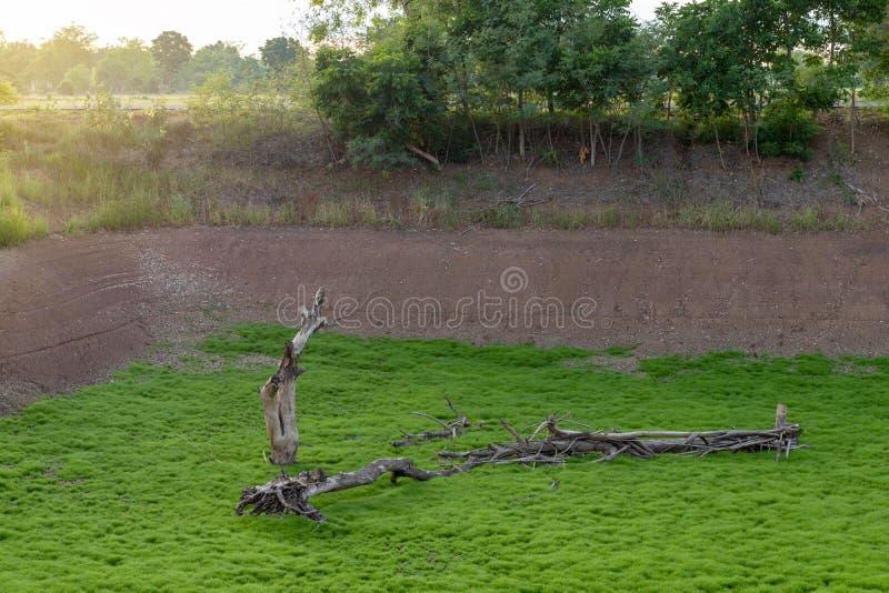 与绿色青苔草的死的干燥树桩 免版税库存图片