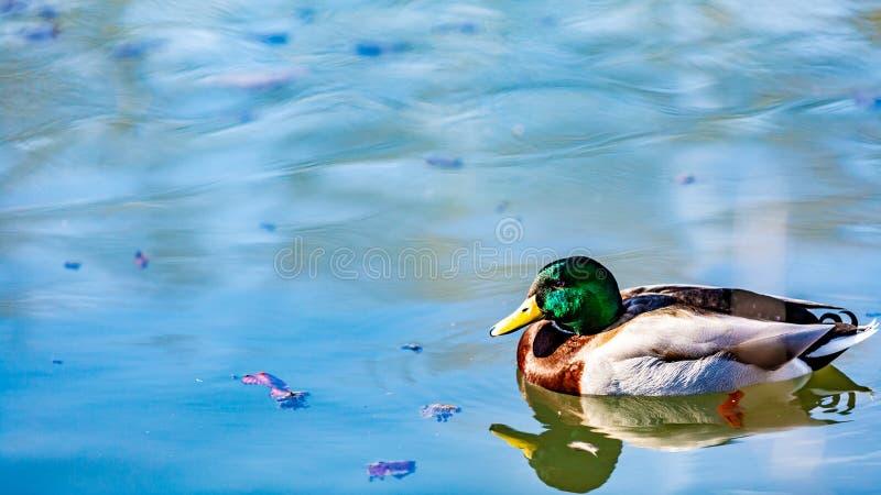 与绿色,棕色,黑白全身羽毛游泳的鸭子在反射在水中的池塘 库存照片