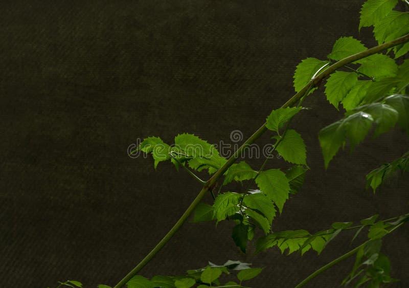 与绿色leaveson的分支黑暗的波纹状的背景 免版税库存照片