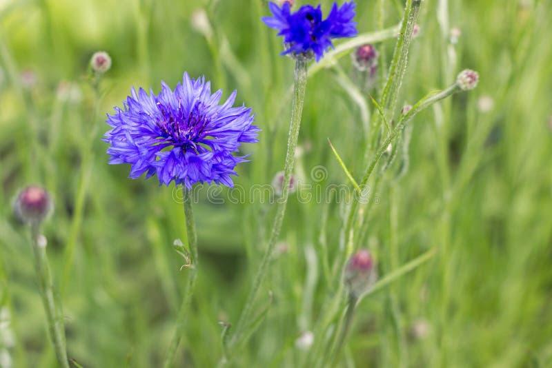 与绿草的蓝色矢车菊在庭院里 图库摄影