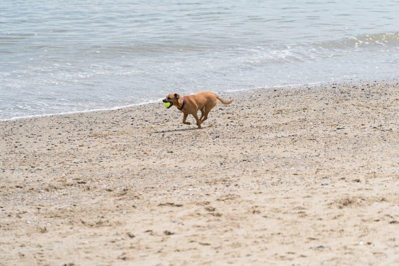 与网球的一条狗在海滩 免版税库存照片